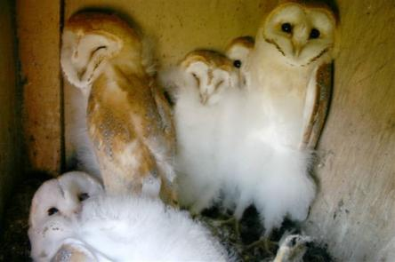 Owlets in one of the Port's nesting boxes